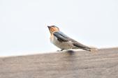 洋燕  Pacific Swallow   :DSC_7101.JPG