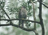 北雀鷹  Northern Sparrow Hawk :DSC_1471.JPG
