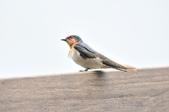 洋燕  Pacific Swallow   :DSC_7106.JPG