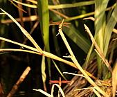 蜻蜓:DSC_8776.JPG