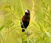 黑頭文鳥:DSC_5217.JPG