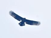 大冠鷲 Crested Serpent Eagle :DSC_1885.JPG