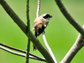 棕背伯勞 Black-headed Shrike   :DSC_3301.JPG