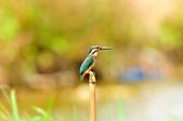 翠鳥  Common Kingfisher       :DSC_6004.JPG