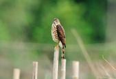 松雀鷹Besra sparrow hawk :DSC_2071.JPG