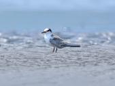小燕鷗  Little Tern  :DSC_4339.JPG