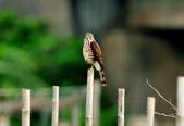 松雀鷹Besra sparrow hawk :DSC_2053.JPG