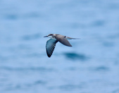 白眉燕鷗Bridled Tern :DSC_0403.JPG