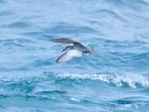 白眉燕鷗Bridled Tern :DSC_0372.JPG