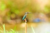 翠鳥  Common Kingfisher       :DSC_6008.JPG