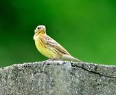 金鵐 Yellow-breasted Bunting  :DSC_6412.JPG