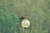 老鷹   Black kite      :DSC_4128.JPG