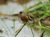 金翅雀  Oriental Greenfinch :DSC_0531.JPG