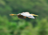 紫鷺     Purple Heron:DSC_0920.JPG