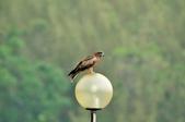 老鷹   Black kite      :DSC_4132.JPG