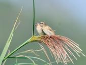 斑文鳥 Nutmeg Mannikin :DSC_6030.JPG
