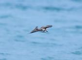 白眉燕鷗Bridled Tern :DSC_0408.JPG