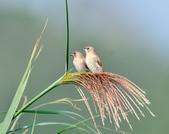 斑文鳥 Nutmeg Mannikin :DSC_6039.JPG
