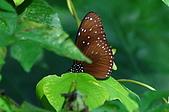 動物寫真:小紫斑蝶.JPG