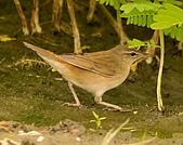 北蝗鶯:DSC_6982.JPG