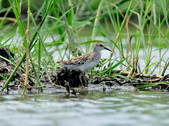 雲雀鷸Long-toed stint  :DSC_2277.JPG