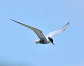 黑腹燕鷗  Whiskered Tern :DSC_3091.JPG