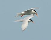 北竿之紅燕鷗:DSC_9339.JPG