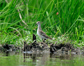 雲雀鷸Long-toed stint  :DSC_2284.JPG