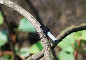 動物寫真:白腰灰蜻.JPG