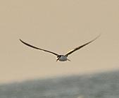 白眉燕鷗:DSC_6745.JPG
