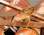 黃小鷺:DSC_4918.JPG
