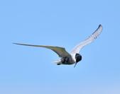 黑腹燕鷗  Whiskered Tern :DSC_3092.JPG