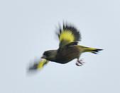 金翅雀  Oriental Greenfinch     :DSC_5314.JPG