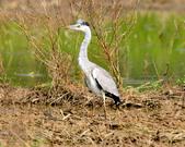 蒼鷺 Grey Heron     :DSC_5746.JPG