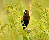黑頭文鳥:DSC_5218.JPG
