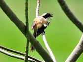 棕背伯勞 Black-headed Shrike   :DSC_3302.JPG