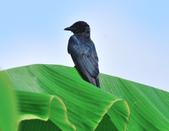大卷尾Black Drongo  :DSC_3204.JPG