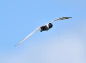 黑腹燕鷗  Whiskered Tern :DSC_3093.JPG