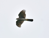 北雀鷹  Northern Sparrow Hawk  :DSC_0431.JPG