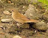 北蝗鶯:DSC_6986.JPG