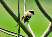 棕背伯勞 Black-headed Shrike   :DSC_3303.JPG