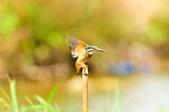 翠鳥  Common Kingfisher       :DSC_6014.JPG