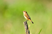 黑喉鴝Common Stonechat  :DSC_9428.JPG