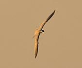 鳳頭燕鷗:DSC_6844.JPG