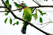 五色鳥  Muller's Barbet   :DSC_3656.JPG
