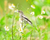 灰背椋鳥  Gray-backed Starling :DSC_6882.JPG