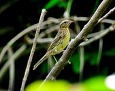 金鵐 Yellow-breasted Bunting  :DSC_6561.JPG