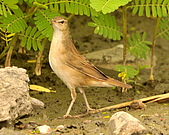 北蝗鶯:DSC_6990.JPG