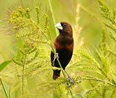 黑頭文鳥:DSC_5219.JPG