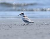 小燕鷗  Little Tern  :DSC_4321.JPG